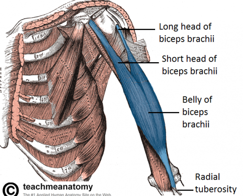 diagram-of-the-biceps-brachii-muscle-showing-long-and-short-heads-teachmeanatomy